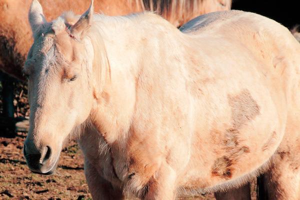 Pferd mit Stoffwechsel-Störung