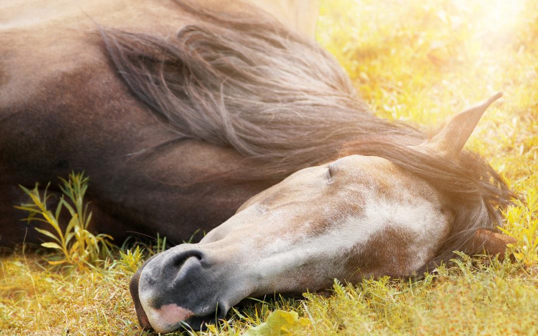 Wenn Pferde nicht an Narkolepsie sondern unter Schlafmangel leiden