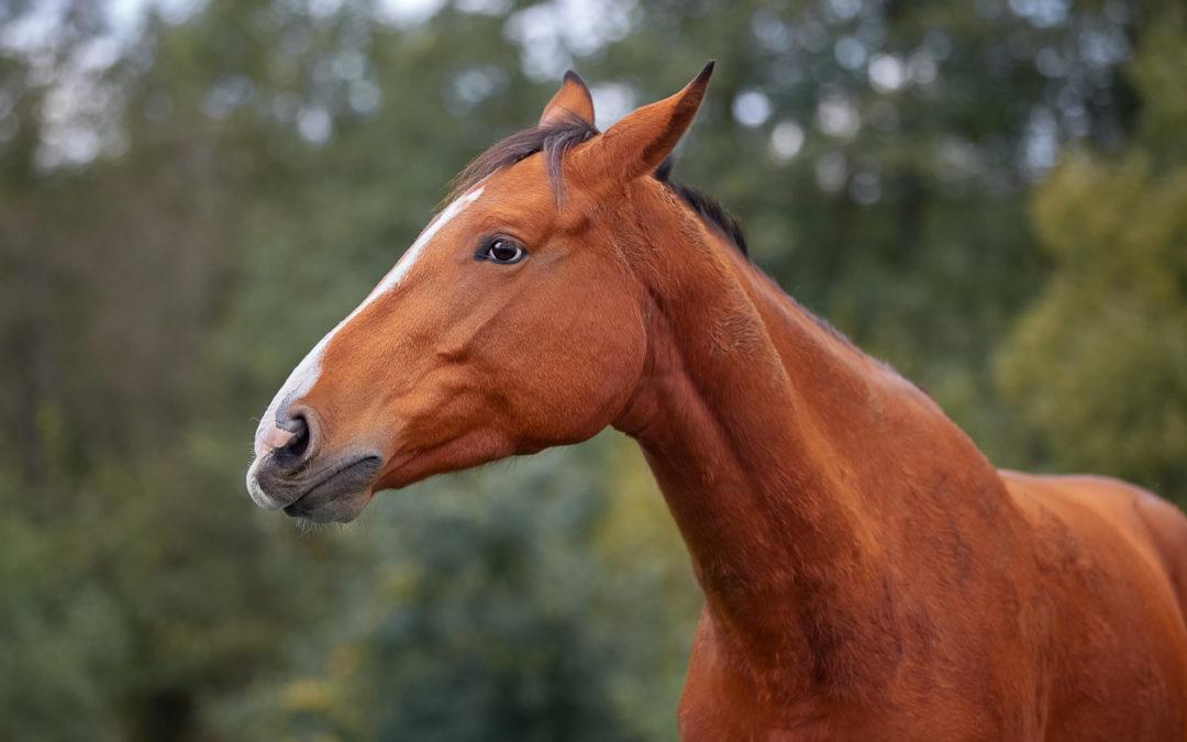 Früherkennung von chronischen Schmerzen beim Pferd